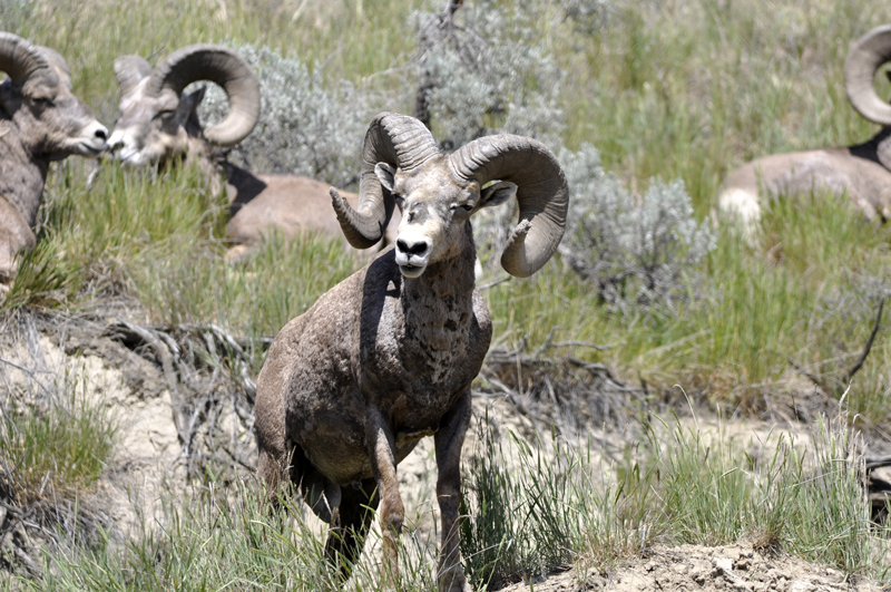 California big horn sheep